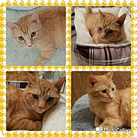 Adopt A Pet :: Ginger - Arlington/Ft Worth, TX