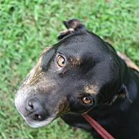 Adopt A Pet :: Shylah - Sarasota, FL