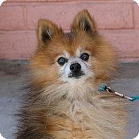 Adopt A Pet :: *Turnip Seashell -- Needs Donations - Pittsburg, CA