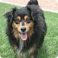 Adopt A Pet :: Pandora - Henderson, NV