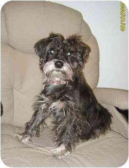 Schnauzer (Standard) Dog for adoption in Austin, Minnesota - Bonita