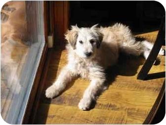 Golden Retriever/Terrier (Unknown Type, Medium) Mix Puppy for adoption in Ellijay, Georgia - Salt