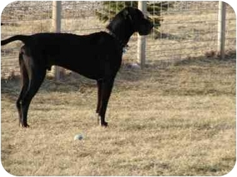 Great Dane Dog for adoption in Sycamore, Illinois - PANZER