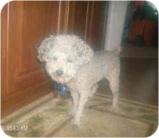 Toy Poodle Dog for adoption in Melbourne, Florida - STEVE