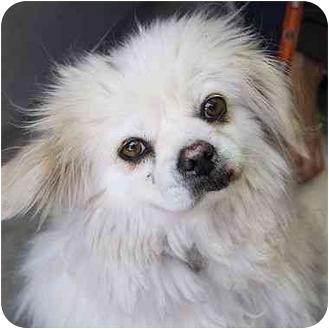 Pekingese Mix Dog for adoption in Berkeley, California - Farrah