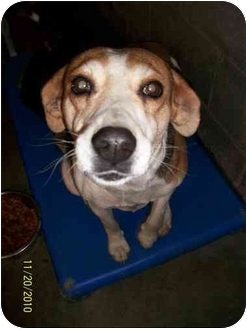 Beagle Mix Dog for adoption in Lancaster, Kentucky - Millie