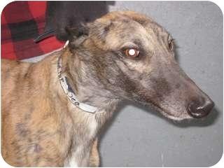 Greyhound Dog for adoption in Gerrardstown, West Virginia - Rooftop Dea