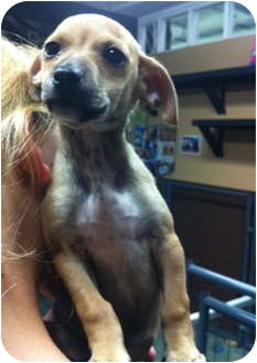 Chihuahua Mix Puppy for adoption in Simi Valley, California - Maverick