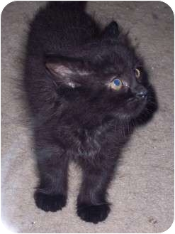 Domestic Mediumhair Kitten for adoption in Delmont, Pennsylvania - Bob