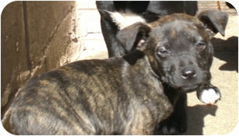 American Staffordshire Terrier/Labrador Retriever Mix Puppy for adoption in Gaffney, South Carolina - Presto