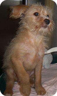 Shih Tzu/Pomeranian Mix Puppy for adoption in Cleveland, Georgia - Ted