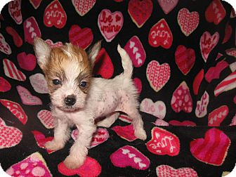 Chinese Crested/Tea Cup Poodle Mix Puppy for adoption in Wauseon, Ohio - Princess