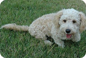 Poodle (Miniature) Mix Dog for adoption in Salt Lake City, Utah - NIKKI