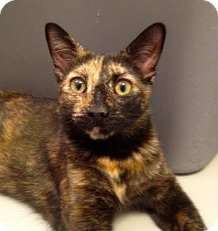 Domestic Shorthair Cat for adoption in Fountain Hills, Arizona - Lexi
