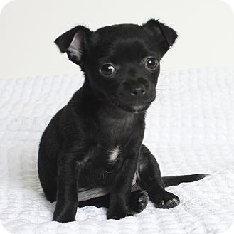 Chihuahua Mix Puppy for adoption in Oakland, California - Velvet