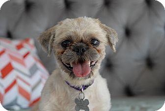 Shih Tzu Mix Dog for adoption in Los Angeles, California - Felix