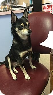 Miniature Pinscher/Chihuahua Mix Dog for adoption in Cincinnati, Ohio - Pez: Red Bank Vet