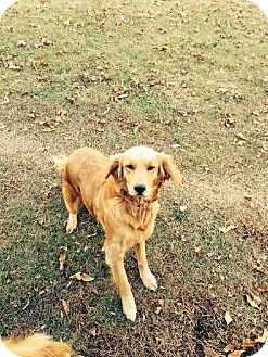 Golden Retriever Dog for adoption in Old Fort, North Carolina - Holly