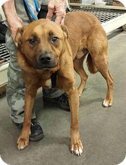 Boxer/Labrador Retriever Mix Dog for adoption in Alexis, North Carolina - General Roscoe