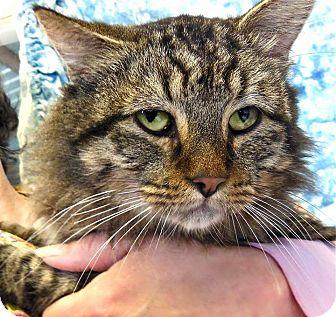 Domestic Longhair Cat for adoption in St. Francisville, Louisiana - Gandolf