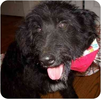 Schnauzer (Standard)/Poodle (Miniature) Mix Dog for adoption in Chapel Hill, North Carolina - Rya