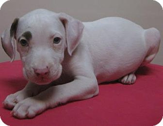 American Pit Bull Terrier Mix Puppy for adoption in Gary, Indiana - Traci