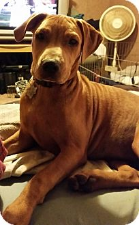 American Pit Bull Terrier Dog for adoption in Kingsland, Texas - Drama Mama