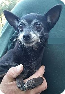Chihuahua Mix Dog for adoption in Gainesville, Florida - Kendall