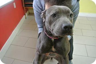 Pit Bull Terrier Mix Dog for adoption in Philadelphia, Pennsylvania - Fiona