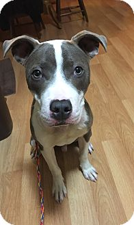 American Pit Bull Terrier Mix Puppy for adoption in South Park, Pennsylvania - Duncan