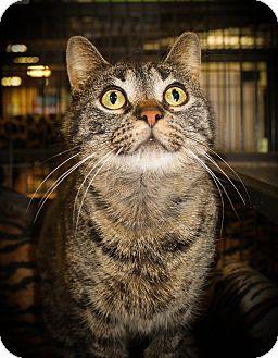 Domestic Shorthair Cat for adoption in Hamilton., Ontario - Colleen