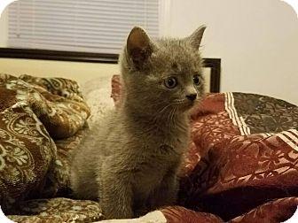 Domestic Mediumhair Kitten for adoption in Stafford, Virginia - Kirby