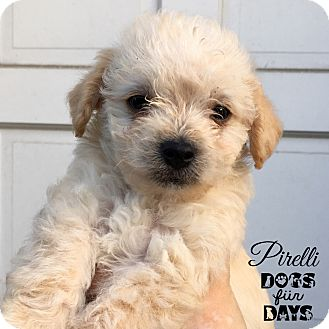 Terrier (Unknown Type, Small)/Poodle (Miniature) Mix Puppy for adoption in San Diego, California - Pirelli
