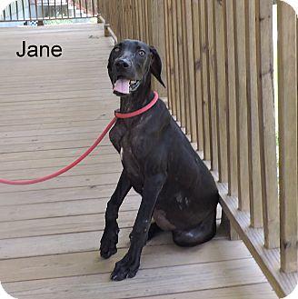 Weimaraner/Plott Hound Mix Puppy for adoption in Slidell, Louisiana - Jane