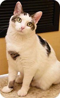 Domestic Shorthair Cat for adoption in Hillside, Illinois - Noelle- $65 - WAITING 10 MTHS