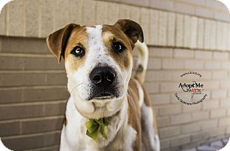 Hound (Unknown Type)/Pit Bull Terrier Mix Dog for adoption in Charlotte, North Carolina - Maybelline (Cosmetics Litter)