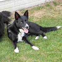 Border Collie Dog for adoption in Evansville, Indiana - Corey
