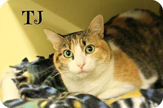 Domestic Shorthair Cat for adoption in West Des Moines, Iowa - TJ