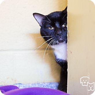 Domestic Shorthair Cat for adoption in Stillwater, Oklahoma - Spider