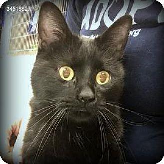 Domestic Shorthair Cat for adoption in Janesville, Wisconsin - Tolkein