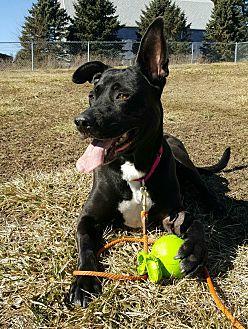 Shepherd (Unknown Type)/Labrador Retriever Mix Dog for adoption in Northville, Michigan - Hannah Banana