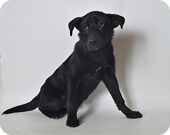 Labrador Retriever/Shepherd (Unknown Type) Mix Dog for adoption in Fruit Heights, Utah - Howie