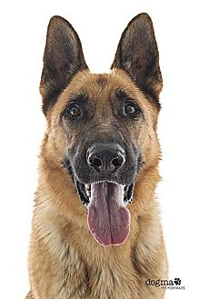 German Shepherd Dog Dog for adoption in Downey, California - Zeus