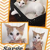 Adopt A Pet :: Sarge - Scottsdale, AZ