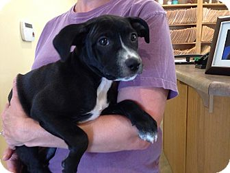 Labrador Retriever Mix Puppy for adoption in Olive Branch, Mississippi - Anita Pup #5