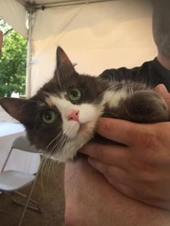 Domestic Shorthair/Domestic Shorthair Mix Cat for adoption in Saskatoon, Saskatchewan - Precious