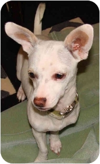 Chihuahua Mix Puppy for adoption in Poway, California - Puka
