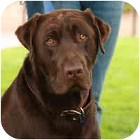 Labrador Retriever Dog for adoption in Denver, Colorado - Benjamin