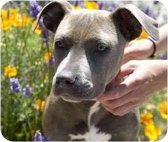 American Pit Bull Terrier Mix Puppy for adoption in Berkeley, California - Chili