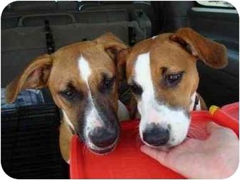 Boxer Mix Dog for adoption in Cincinnati, Ohio - Poppy aka Lucy